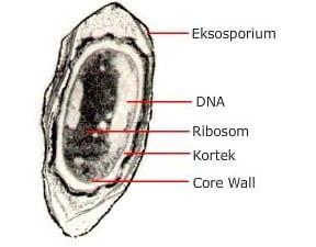 Eksosporium