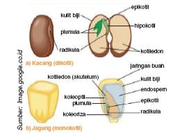 Embrio-Tumbuhan