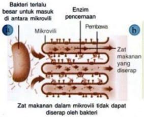 Enzim pada mikrovili