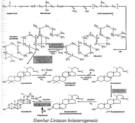 Gambar Lintasan kolesterogenesis
