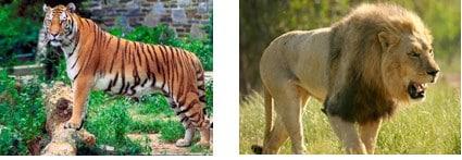 Harimau-dan-singa