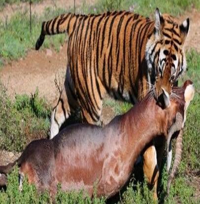 Harimau memangsa kijang