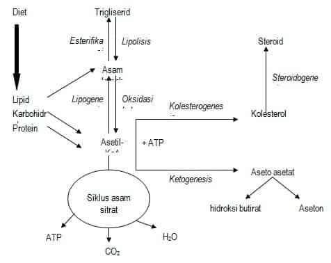 Ikhtisar metabolisme lipid