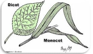 Struktur-Perbedaan-Daun-Monokotil-Dikotil