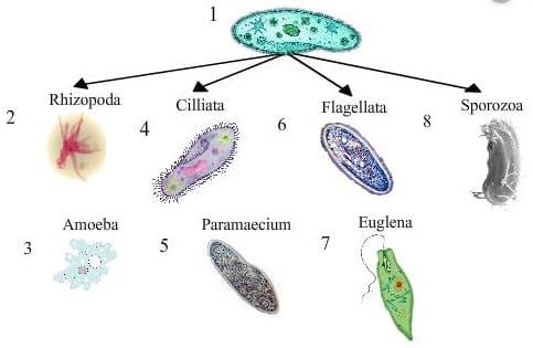 Klasifikasi-Sporozoa
