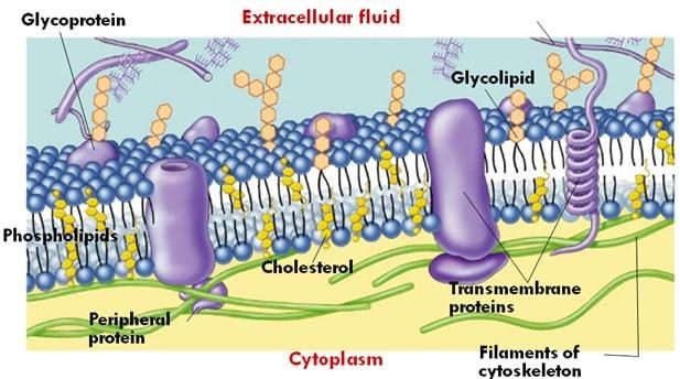 Komponen penyusun membran sel
