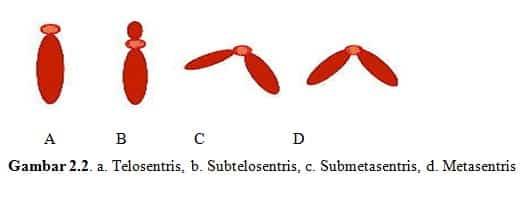 Kromosom-Telosentris