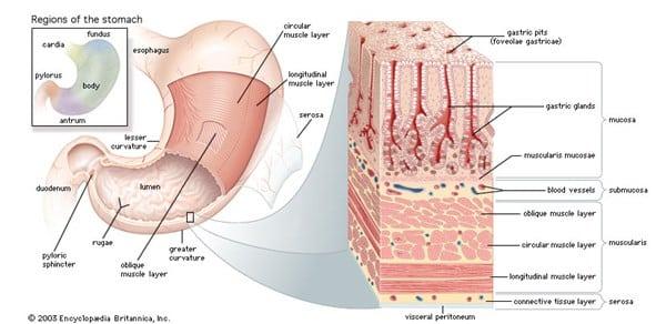 Lapisan peritoneal