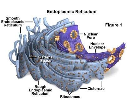 Letak reticulum endoplasma pada Badan golgi