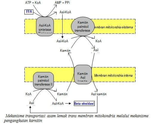 Mekanisme transportasi asam lemak
