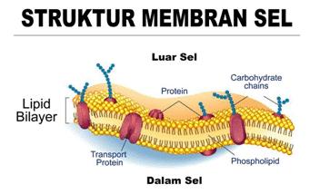 Membran-Sel