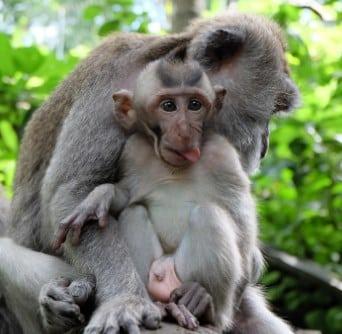 Monyet Saba