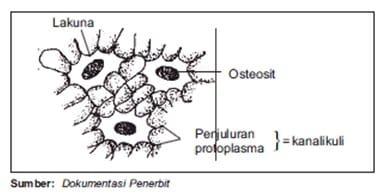 Osteosit