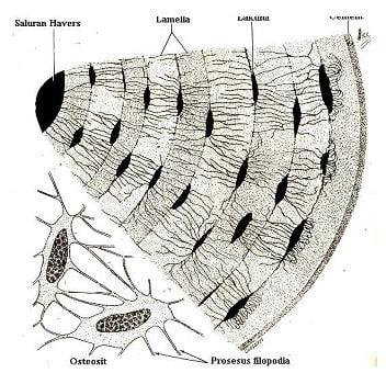 Osteosit1