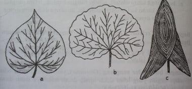 Pangkal daun bertoreh atau berlekuk
