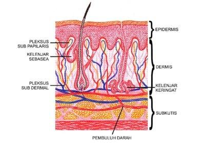 Pembuluh darah