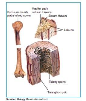 Penampang bujur tulang pipa