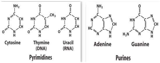 Perbedaan-antara-Purin-dan-pirimidin