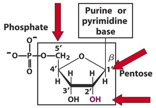 Perbedaan-antara-Purin-dan-pirimidin1