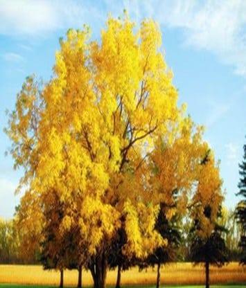 Pohon Walnut
