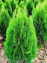 Pohon-cemara