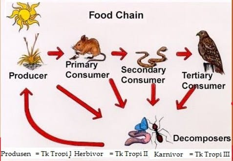 Rantai Makanan Dan Analisisnya