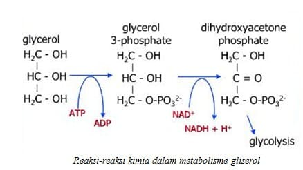Reaksi-reaksi kimia dalam metabolisme gliserol