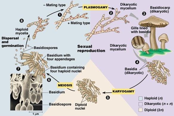 Reproduksi-Basidiomycota