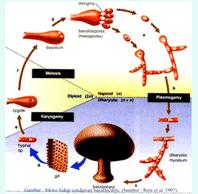 Reproduksi-Fungi-Jamur
