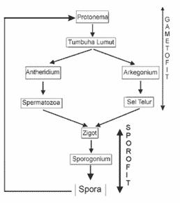Reproduksi Tumbuhan Lumut