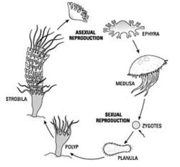 Reproduksi-aseksual-Aurelia-aurita