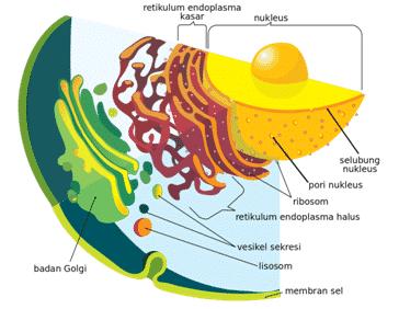 Reticulum-Indoplasma