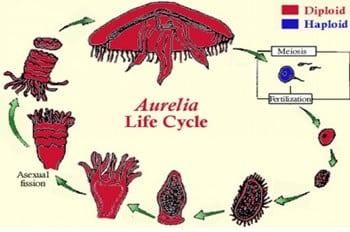 Siklus-Hidup-Aurelia