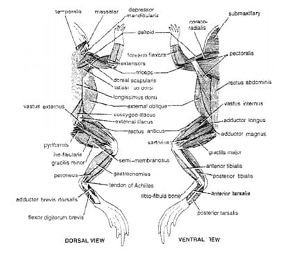 Sistem Otot Amfibi