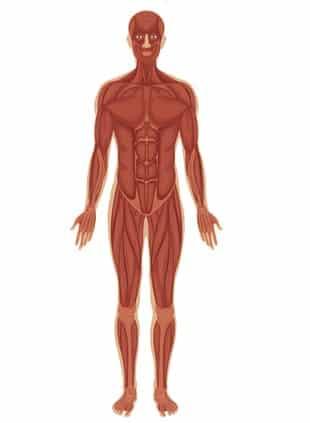 Anatomi Tubuh Manusia Pengertian Organ Tubuh Dan Pembagian
