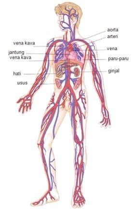 Sistem-Sirkulasi-Manusia