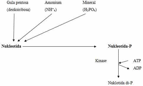 Skema pembentukan nukleotida