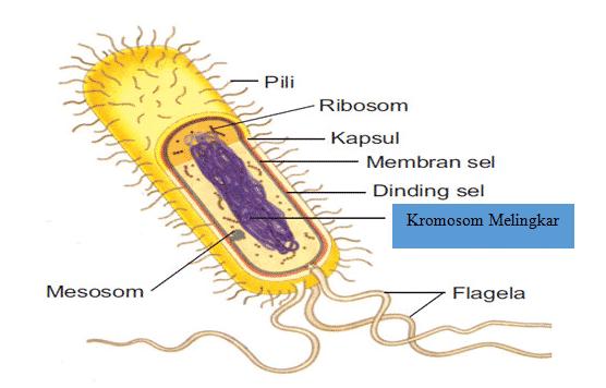 Struktur-Bakteri