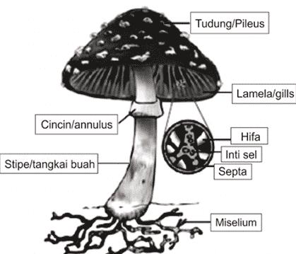 Struktur-Fungi-Jamur