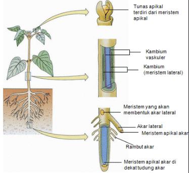 Struktur Jaringan Epidermis Pada Akar