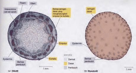 Struktur Jaringan Epidermis Pada Batang