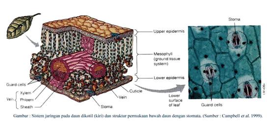 Struktur Jaringan Epidermis Pada Daun