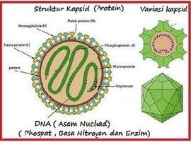 Struktur-Kapsid