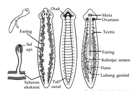 Struktur Tubuh Platyhelminthes
