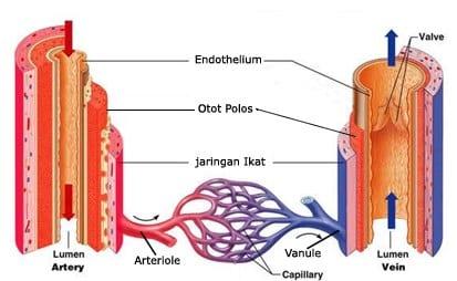 Struktur-dan-fungsi-vena