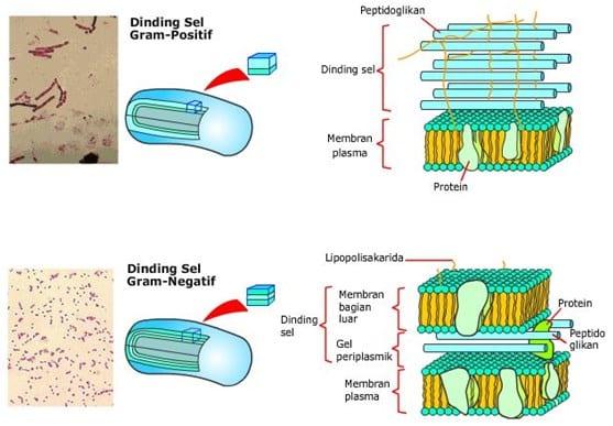 Struktur-dasar-bakteri