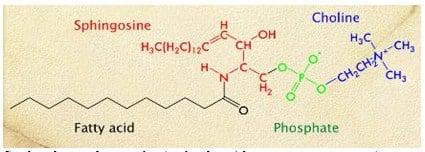 Struktur kimia sfingomielin (perhatikan 4 komponen penyusunnya)
