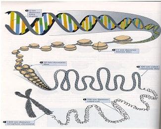 Struktur-kromosom
