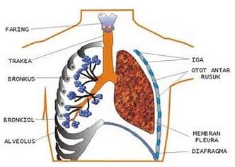 Struktur-paru-paru