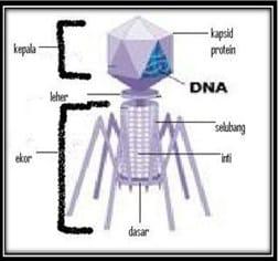Susunan Tubuh Virus T
